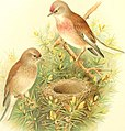 Birds of Great Britain and Ireland (1907) (14732237946).jpg
