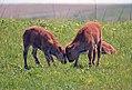 Bison calves get playful at Neal Smith National Wildlife Refuge in Iowa (27382744985).jpg