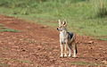 Black-backed jackal, Canis mesomelas, a young one playing with a root as a puppy plays with a ball at Rietvlei Nature Reserve, Gauteng, South Africa (15417881323).jpg