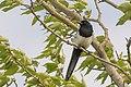 Black-billed Magpie (43446666651).jpg