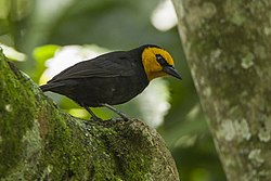 Black-billed Weaver - Kakamega - Kenya 6 1635 (22227722834).jpg