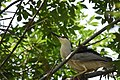 Black-crowned Night-Heron brings a twig for the nest - step two, get on a better branch to launch to the nest (48251733987).jpg