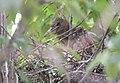 Black-crowned Night-Heron chicks from 7 11 19 (48282685692).jpg
