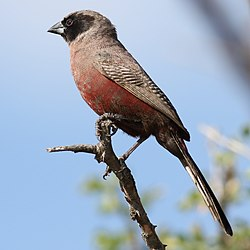 Black-faced waxbill, Estrilda erythronotos, at Zaagkuildrift Road, Limpopo, South Africa (36874832422).jpg
