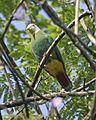 Black-naped Fruit-Dove (Ptilinopus melanospilus) - Flickr - Lip Kee (1).jpg