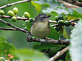 Black-throated Blue Warbler RWD1.jpg