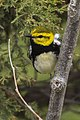 Black-throated Green Warbler - Point Pelee - Ontario 11052017-FJ0A4807 (38916666375).jpg