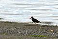 Black Oystercatcher, Dungeness NWR - 3346923079.jpg