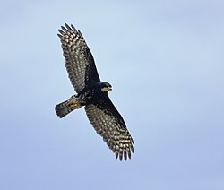 Black Sparrowhawk in flight x.jpg