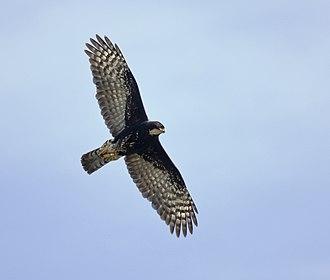Black sparrowhawk - Black Sparrowhawk in flight. Black morph