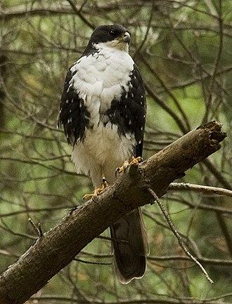 Black sparrowhawk - Image: Black Sparrowhawk white morph 2 x