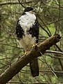 Black Sparrowhawk white morph 2 x.jpg