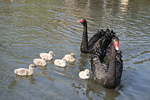 Black Swan family, York.jpg