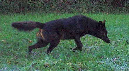 Melanistic coyotes owe their color to a mutation that first arose in domestic dogs. Black coyodog.jpg