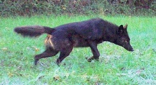 Black coyodog