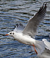 Black headed Gull 2 (3843958282).jpg