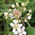 Blackberry blossoms in Scotland.jpg