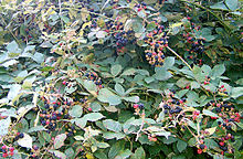 Blackberry bush with fruit.jpg
