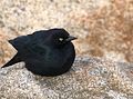 Blackbird Waiting.jpg