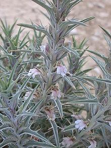 Колючее растение с бледно-фиолетовыми цветками