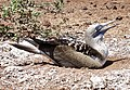 Blue-footed booby (47945190403).jpg