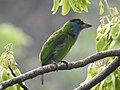 Blue-throated Barbet Megalaima asiatica by Dr. Raju Kasambe DSCN4094 (3).jpg