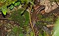 Blue-throated Litter Skink (Sphenomorphus cyanolaemus) female (23473511215).jpg