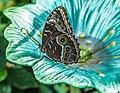 Blue Morpho (43765363271).jpg