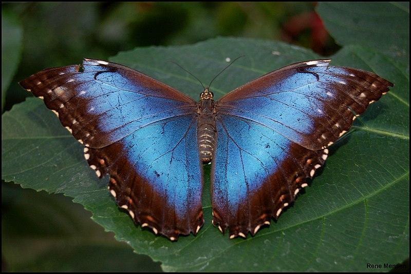 File:Blue Morpho butterfly (Morpho peleides) wings open.jpg