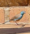 Blue Waxbill (Uraeginthus angolensis) male (32286236932).jpg