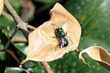 Blue orchard bee.jpg