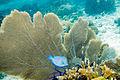 Blue tang Acanthurus coeruleus (4675580245).jpg