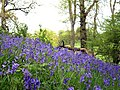 Bluebells - geograph.org.uk - 1281735.jpg
