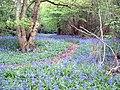 Bluebells near Woodgetters - geograph.org.uk - 233921.jpg