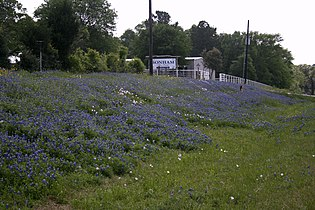 Bluebonnets College Station Texas.jpg