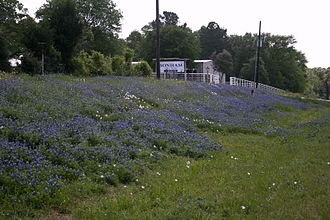 Lady Bird Johnson - A field of bluebonnets in Texas