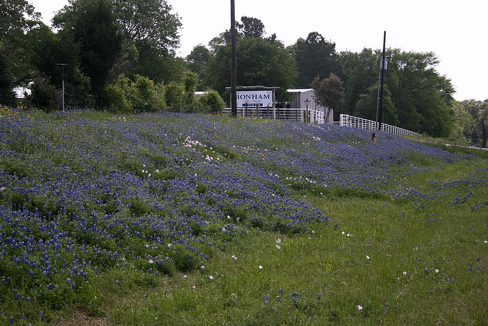 Bluebonnets College Station Texas