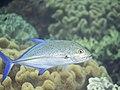 Bluefin trevally (Caranx melampygus) (32079984650).jpg