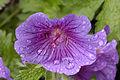Blume-Storchenschnabel-Geranium.jpg