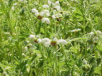 Blumenbachia hieronymi3