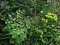Boehmeria, Euphorbia and Persicaria again - Flickr - peganum.jpg