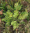 Boerenwormkruid plant.jpg