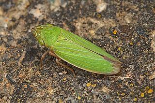 <i>Helochara communis</i> Species of true bug