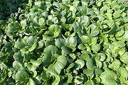 "Brassica rapa chinensis, called ""bok choy"" in the United States"