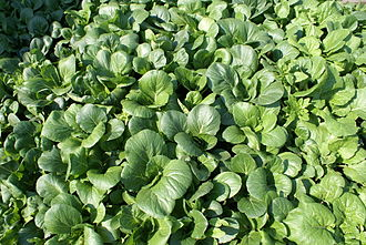 """Bok choy - Brassica rapa chinensis, called """"bok choy"""" in the United States"""