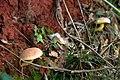 Boletus calopus (15584669251).jpg