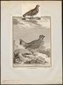 Bonasa betulina - 1700-1880 - Print - Iconographia Zoologica - Special Collections University of Amsterdam - UBA01 IZ17100381.tif