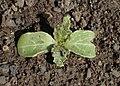 Borago officinalis kz04.jpg
