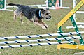 Border Terrier Fond Du Lac County Kennel Club.jpg
