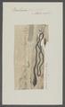 Borlasia mandilla - - Print - Iconographia Zoologica - Special Collections University of Amsterdam - UBAINV0274 105 01 0004.tif